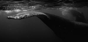 humpback_whale_fluke_iv