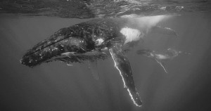 humpback_whale_mother_and_calf_i