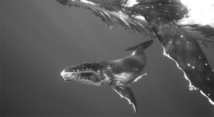 humpback_whale_mother_and_calf_ii
