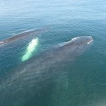 Humpback whale mother and calf in the Gulf of Maine