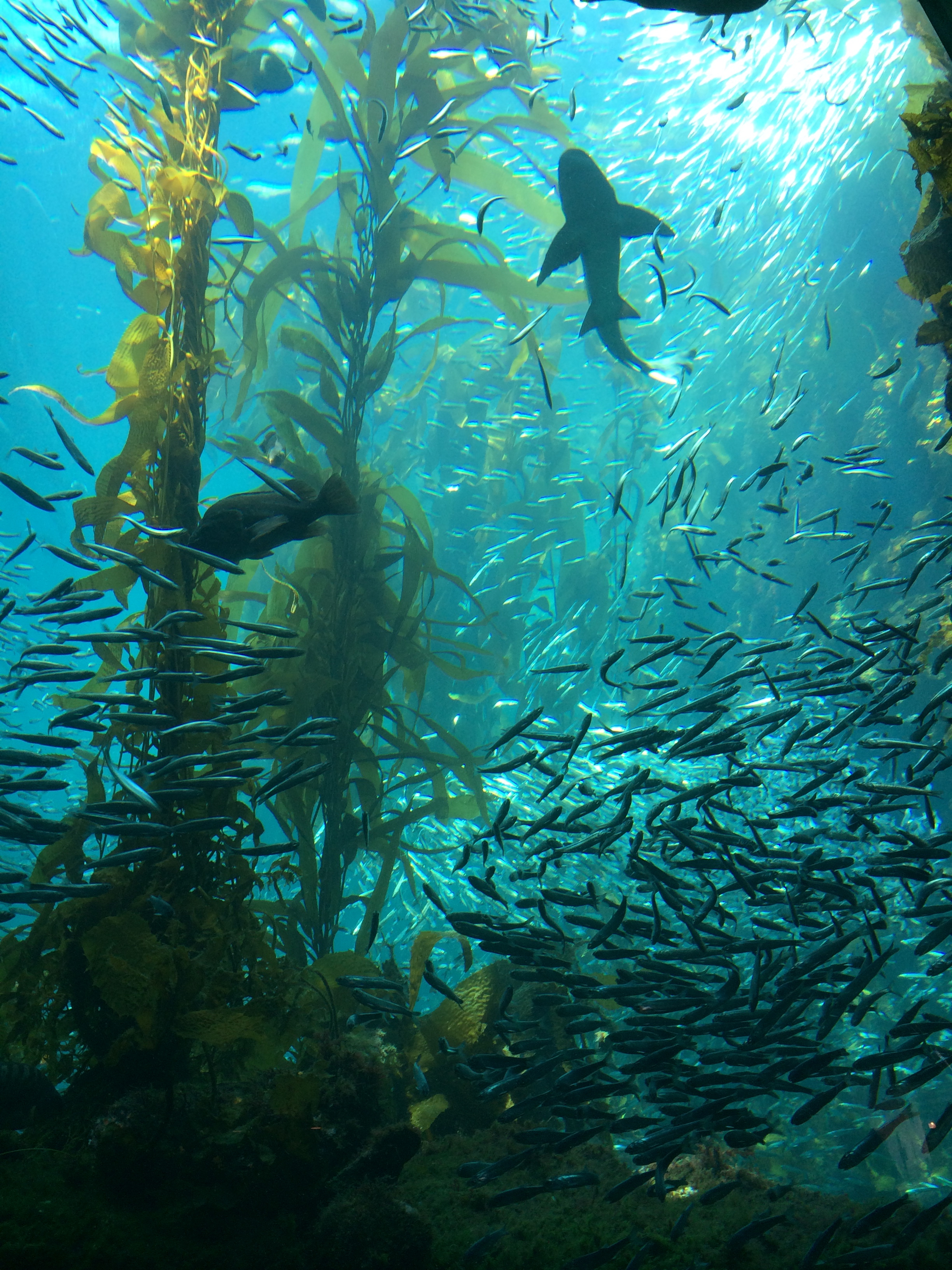 Monterey Bay Kelp Forest
